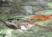 dcm-161-red-fish